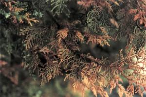 A tuja egyik betegsége a barnulás
