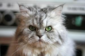 Perzsa macska
