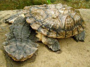 Matamata teknős