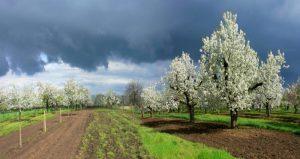 Nagykörű cseresznyekert