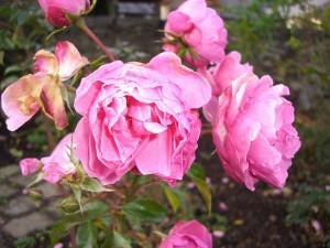 Rózsa ősszel